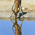 Tony Beck - Black-faced Impala