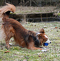 Border Collie Playing With Ball by Mark Taylor