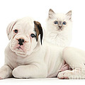 Boxer Puppy And Blue-point Kitten by Mark Taylor