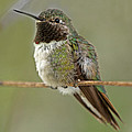 Juergen Roth - Broad-Tailed Hummingbird