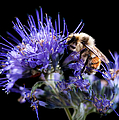 Cindy Singleton - Bumble Bee on Blue Flower