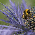 Zoe Ferrie - Busy Bee on a Thistle