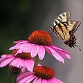 Byron Varvarigos - Butterfly and Coneflower