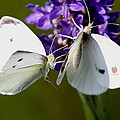 Travis Truelove - Cabbage White - Butterfly