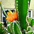Carol Senske - Cactus With Orange Flower