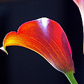 Rona Black - Calla Colors and Curves