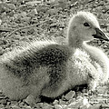 Janeen Wassink Searles - Canadian Gosling