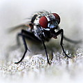 Maureen  McDonald - Closeup of a Fly