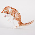Michael Kloth - Dancing Kitten on White