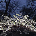 Brian Wallace - Dogwood At Night