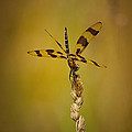 Dave Sandt - Dragonfly on a stalk of...