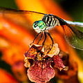 Toma Caul - Dragonfly on Trumpet Vine