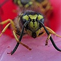 Al Hambidge - Eastern Yellow Jacket