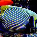 Pravine Chester - Emperor Angelfish