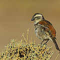 Tony Beck - Female Cape Sparrow