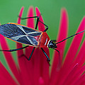 Arj Munoz - Forest Shield Bug