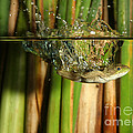 Frog Jumps Into Water by Ted Kinsman