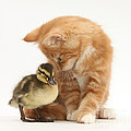 Ginger Kitten And Mallard Duckling by Mark Taylor