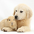 Golden Retriever Pup And Yellow Guinea by Mark Taylor