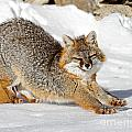 Lloyd Alexander - Gray Fox Stretching