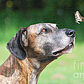 Great Dane Rufus DaGoofus with Butterfly