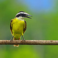 Tony Beck - Great Kiskadee