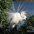 Sabrina L Ryan - Great White Egret in the...