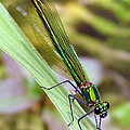 Ramona Johnston - Green Damselfly