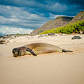 Eric Franke - Hawaiian Monk Seal