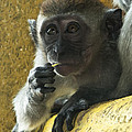 Zoe Ferrie - Infant Macaque monkey at...