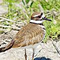 Killdeer Pose by Lynda Dawson-Youngclaus
