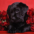 Waldek Dabrowski - Labrador puppy with red...