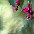 Steven Poulton - Fuchsia Magic
