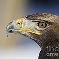 Inspired Nature Photography By Shelley Myke - Majestic Golden Eagle