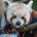 Greg Nyquist - Mischievious Red Panda