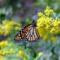 Monarch on Goldenrod 1