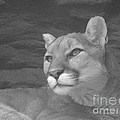Donna Parlow - Mountain Lion in Black...