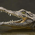 Tony Beck - Nile Crocodile