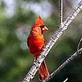 Travis Truelove - Northern Cardinal - Bird...
