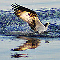 Bill Cannon - Osprey Crashing the Water