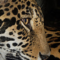 Sym              - Panthera onca in Profile