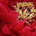 Bruce Bley - Peony Close Up