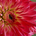 Inspired Nature Photography By Shelley Myke - Pink Perfection Dahlia