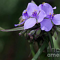 Sabrina L Ryan - Purple Spiderwort Flowers