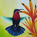 Christopher Cox - Purple-throated Carib...