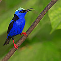 Tony Beck - Red-legged Honeycreeper