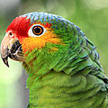 Teresa Zieba - Red-lored Amazon Parrot
