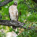 Roy Williams - Red Shouldered Hawk...