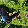 Byron Varvarigos - Red Spotted Purple And...
