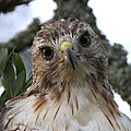 Travis Truelove - Red-tailed Hawk - Just...